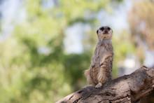 Meerkat Sitting Up On A Log Lo...