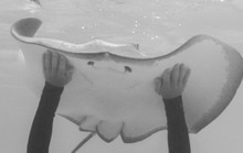 Man Touches Stingray In Black And White