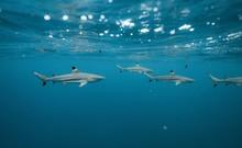 Black Tip Reef Sharks Swimming...