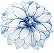 canvas print picture white-blue flower dahlia  on white isolated background with clipping path.  no shadows. Closeup.  Nature.