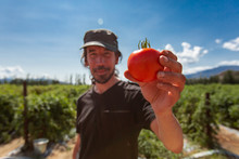Fresh Ripe Red Tomato Selective Focus In The Hand Of A Smiling Man, Look Happy With Tomatoes Open Field Background During A Sunny Day With Clear Sky