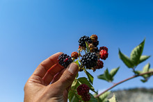 Ripe, Ripening, And Unripe Blackberries On The Bush, With Hand Picking One Blackberry Fruit In Selective Focus And Close Up Low Angle View Against Sky
