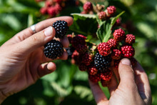 Selective Focus And Close Up Shot Of Hands Holding Black Ripe And Red Unripe Blackberries Fruits On The Bush. Against Plants Leaves In The Background