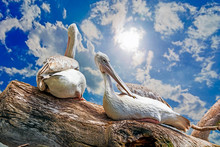 A Pair Of Giant Pelicans Perch...