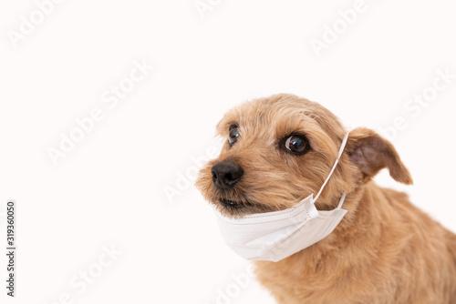 Fotografie, Obraz マスクをしたノーフォークテリア犬