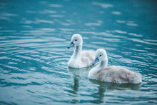 Swans Family In Lake Water Clo...
