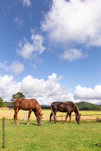 Fototapeta 日本の北海道東部・9月、放牧された馬 obraz