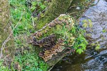 Saprophytic Fungi, Coriolus Versicolor, On A Dead Tree Trunk