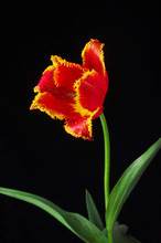 Red Curly Tulip On A Black Bac...