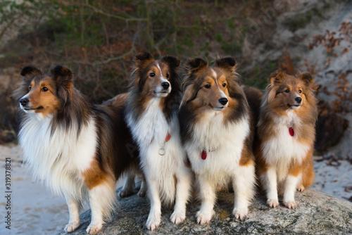 Fototapeta Long-haired Scottish Shepherd Dog obraz