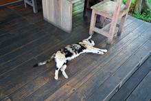 Calico (Tri Colored Cat) Layin...