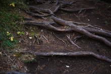 Natural Texture Of The Roots On The Ground. The Thick Interlacing Of Roots In The Dark Earth, Eco Background
