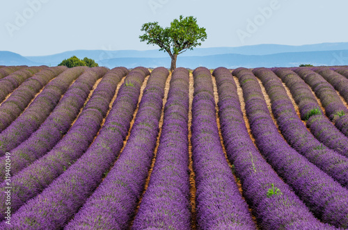 Lonely tree in the middle of a lavender field. France. Provence. Plateau Vale...