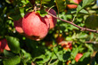canvas print picture picture of a Ripe Apples in Orchard ready for harvesting,Morning shot