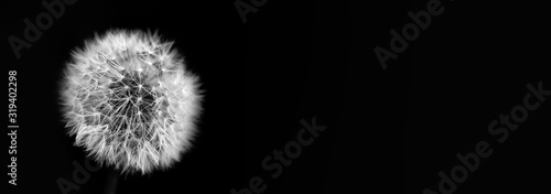 Obraz Fluffy dandelion plant head on black background. Macro, shallow depth of field. copy space - fototapety do salonu