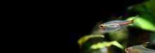 Tropical Aquarium Fish Glowlight Tetra Or Hemigrammus Erythrozonus, Silver In Colour And A Bright Iridescent Orange To Red Stripe. Macro View. Black Background And Copy Space