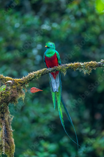 Fotografía Resplendent Quetzal, Pharomachrus mocinno, from Savegre in Costa Rica with blurred green forest in background