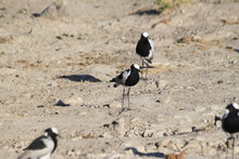 Blacksmith Lapwing Plover Water Bird
