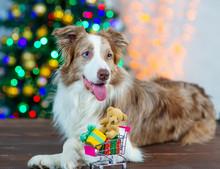 A Border Collie Breed Dog Lies...