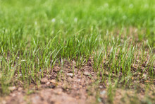 Close-up Of New Grass Growing ...