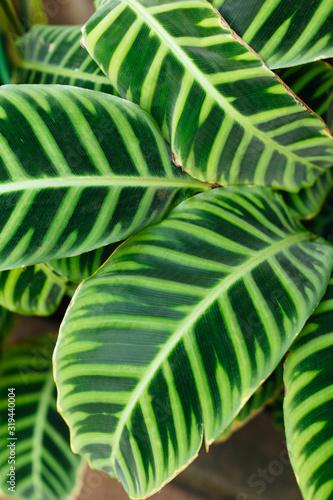 Photo Vertical macro photo of green striped Calathea leaves