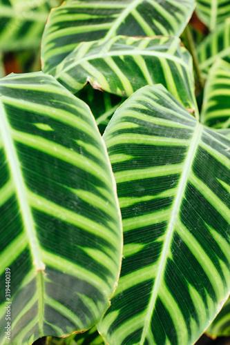 Vertical macro photo of green striped Calathea leaves Canvas Print