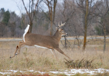 White-tailed Deer Buck Running Through The Meadow After A Doe During The Rut In Canada