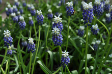 Grape Hyacinth, Also Known As Muscari Armeniacum, Touch Of Snow