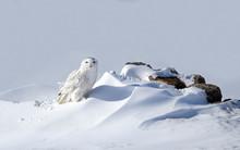 Snowy Owl (Bubo Scandiacus) St...