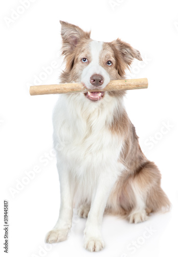 Fototapety, obrazy: Dog holds stick in it mouth. isolated on white background