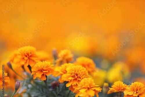 Fotografía Marigolds Tagetes erecta, Mexican marigold, Aztec marigold, African marigold