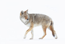 A Lone Coyote (Canis Latrans) ...