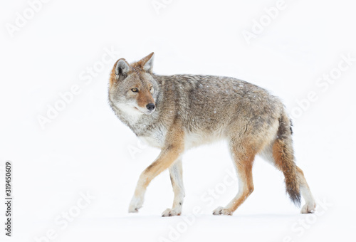 Foto A lone coyote (Canis latrans) closeup in winter snow in Canada