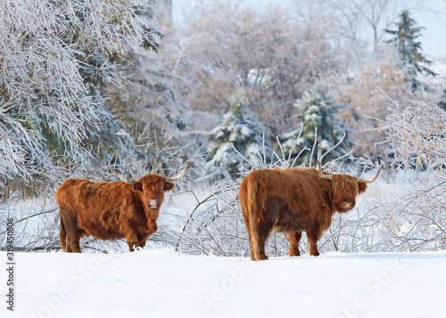 Fototapeta Highland cattle standing in a snowy field in winter in Canada obraz