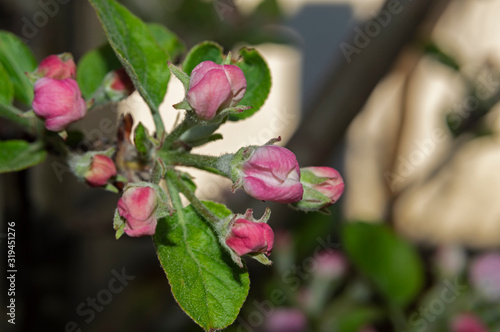 Fotografia These beautiful apple blossoms are born in the spring to make way for a wonderful and tasty fruit that is the apple