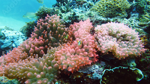 Sea anemone and clown fish on the coral reef, tropical fishes Fototapete