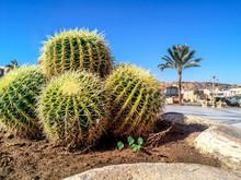 Four Large Round Cacti Close-u...