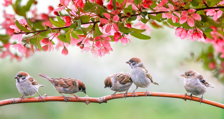 Panel Szklanylittle birds sparrows may sit in the Sunny garden among the flowering branches of pink Apple