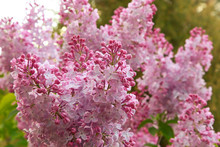 Pink Lilac In The Garden