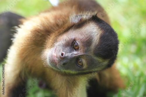 Vászonkép Portrait of a Capuchin monkey looking into the camera with its head turned