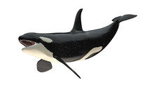 Isolated Killer Whale Orca Open Mouth Right Diagonal Tail Up View On White Background 3d Rendering