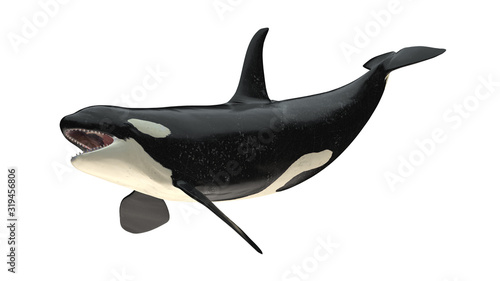 Isolated killer whale orca open mouth right diagonal tail up view on white backg Wallpaper Mural