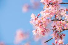 Soft Focus Cherry Blossoms, Pi...