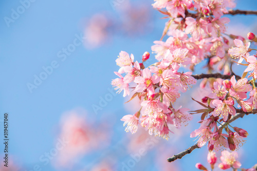 Foto Soft focus Cherry blossoms, Pink flowers background.