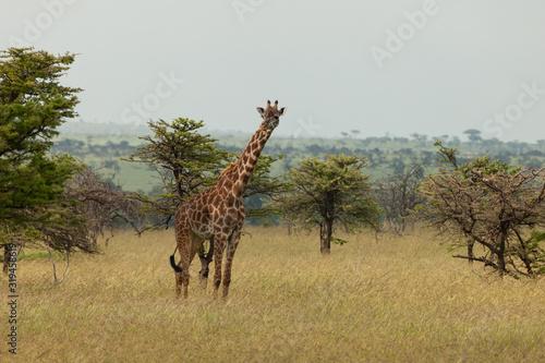 curious young giraffe
