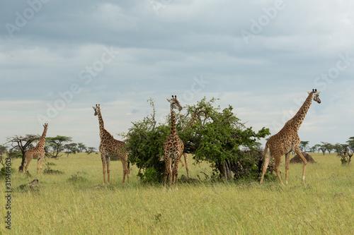 group of giraffes on the savannah Wallpaper Mural
