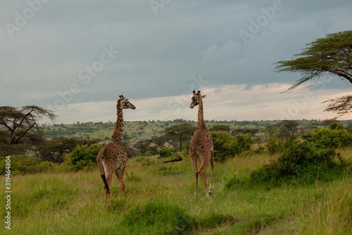 Photo group of giraffes on the savannah