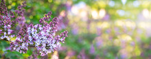 Lilac Spring Flowers Bunch. Be...