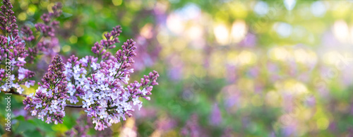 Lilac spring flowers bunch. Beautiful blooming violet lilac flower in a garden, closeup. Spring blossom