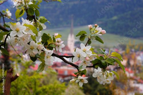 Photo Apfelblüte, Blütenzweig in Südtirol, Italien, Europa